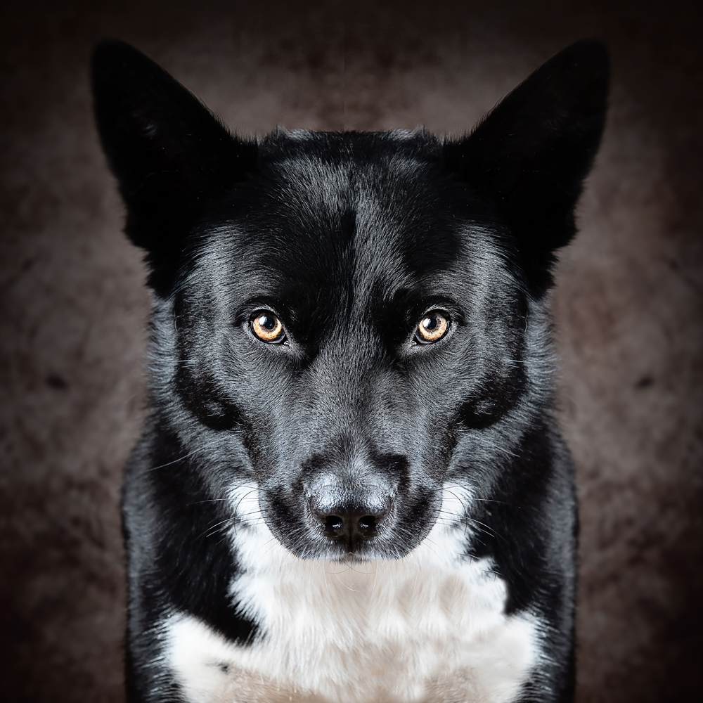 Dog studio portrait